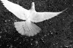 Wings of a Dove--Image by Vladimir Agafonkin
